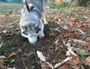 【ニコニコ動画】シベリアンハスキー 一心不乱に穴を掘るを解析してみた