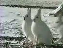 ホッキョクウサギがニゲテル!