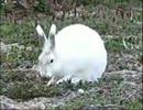 ホッキョクウサギが走ってる時のコレジャ