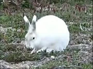 ホッキョクウサギが走ってる時のコレジャナイ感UC