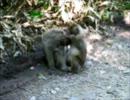 【ニコニコ動画】お猿さん.を解析してみた