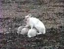 ホッキョクウサギの子供もコレジャナカッ