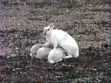 ホッキョクウサギの子供もコレジャナカッタUC