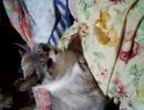 『おちび』猫、ネコ、ねこ『ちび動画』.