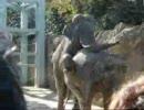 第61位:ゾウの交尾再び thumbnail