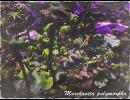 【ニコニコ動画】Marchantia polymorphaを解析してみた