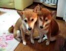 【ニコニコ動画】ファンヒーターと柴犬ふたりを解析してみた