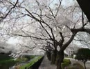 ママチャリで、桜並木を走ってみた。