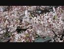 平成26年 東西みやこの桜