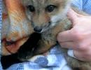 仔狐をモミモミしてきた
