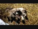 【まるで神話】8本足の両性具有ヤギの生態