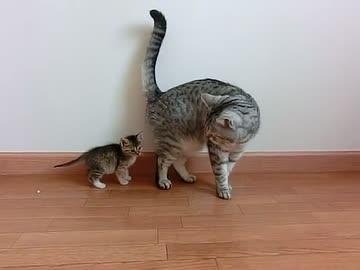 迫る子猫と迫られる大人猫