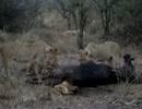 【ニコニコ動画】子ライオンがバッファローの肛門に頭を突っ込んで瀕死の状態にを解析してみた