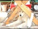 【ニコニコ動画】秋田犬のこまちを解析してみた