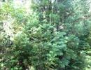 【ニコニコ動画】【自然音】田舎の蝉の鳴き声8min【Nature Sound】を解析してみた