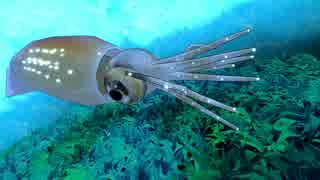 【第13回MMD杯本選】自作ホタルイカをMMD海に放ってみた