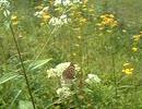 ちょうちょが花の蜜を吸っている022.AVI