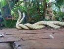 ヘビの激しい交尾