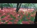 2014年9月 日高巾着田の「曼珠沙華」