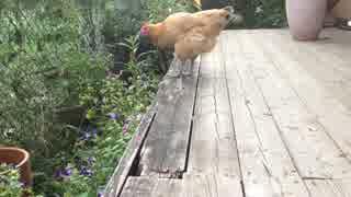 ニワトリを眺める thumbnail