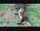 【キジトラ地獄】メス猫同士のリアルキャットファイトを眺めてみた