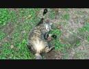 【ニコニコ動画】【キジトラ地獄】キジトラ猫、モフられた過ぎて謎のポーズをとるを解析してみた