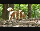 【まきばの森】モコ、シュガーちゃんとドッグランww