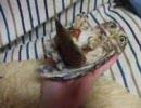 ニギコロされるコキンメフクロウ