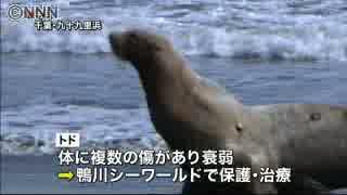 九十九里浜で保護のトド 水族館で公開