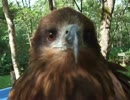 ★ハリスホーク(ペット、動画、生物、犬、猫、動物、梟、鳥、鷲)