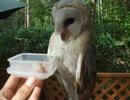 【ニコニコ動画】フクロウに肉をあげてみた♪(インコ、ペット、生物、犬、猫、梟、鳥)を解析してみた