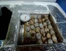 ウズランゲリオン~スーパーで売ってるウズラの卵を孵化させる計画その1