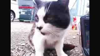 ハシケン 外配信で出会ったネコたち 12