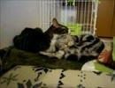 【ニコニコ動画】はじめての猫飼い079~ゆめちゃんの卒業~を解析してみた