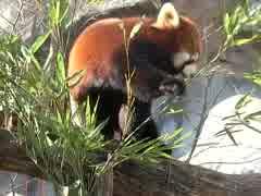 レッサーパンダの食事(多摩動物園)