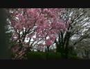 植物公園桜2