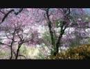 植物公園桜3