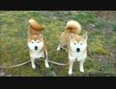 【ニコニコ動画】強風に吹かれまくる柴犬ひかりといちごを解析してみた