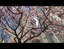 Packn Mackn Explain SAKURA Cherry Blossoms