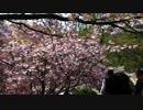 八重桜2015