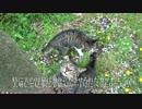 【ニコニコ動画】【キジトラ地獄】公園の少年猫、去勢して見事に頭がキトゥンとなるを解析してみた