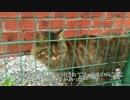 【キジトラ地獄】チキンなたぬき猫、猫カーストの厳しさを体感する