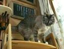 【ニコニコ動画】手作りキャットウォークに猫じゃらしで誘うを解析してみた