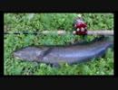 【ニコニコ動画】【2015/05/02】雷魚を求めて野池巡りを解析してみた