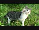 【ニコニコ動画】【猫ドキュメント】少女猫の捕獲リリース後、公園で再会を果たすを解析してみた