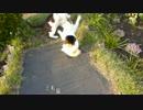 【ニコニコ動画】三毛猫との再会&ブラッシングを解析してみた