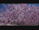 さくら(浄源寺の八重桜)