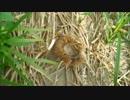 【ニコニコ動画】【ORAS】捕獲した生物しか使えない大自然レート【一級河川編4】を解析してみた