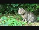 【ニコニコ動画】【キジトラ地獄】インフェルノに降り立った新猫をモフるを解析してみた