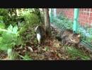 草陰の公園猫戦争!少年猫VS少女猫withたぬき(猫)